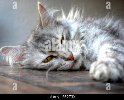 Portrait of a siberian cat sleeping on a table - Stock Photo