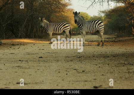 Two zebras crossing the road in Africa - Stock Photo