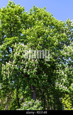 blossoming horse chestnut in Kiev in spring - Stock Photo