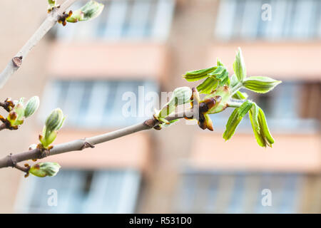 twig of horse chestnut tree in city in spring day - Stock Photo
