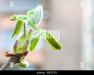 bud of horse chestnut tree close up in spring - Stock Photo