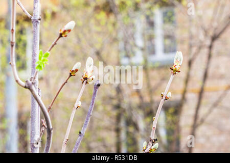 branches of horse chestnut tree in spring - Stock Photo