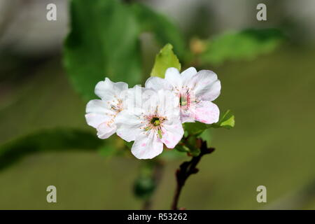 Cherry tree fully open blossom white with pink spots flowers on single branch planted in local garden and surrounded with green leaves on warm summer - Stock Photo