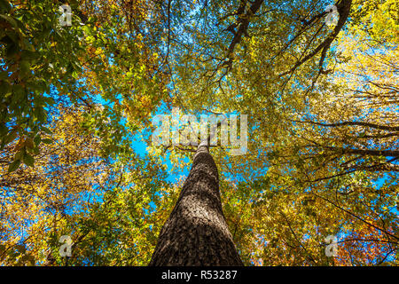 The trunk and branches of the old tree crown - Stock Photo