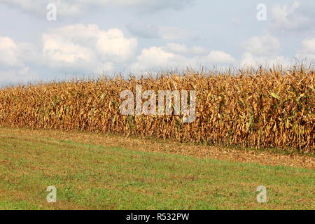 Cornfield with corn ripe for harvest with grass in front and cloudy blue sky in background on warm summer day - Stock Photo
