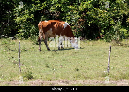 Dark brown cow with white head and spots standing and eating partially dry grass on field protected with electrical wire in front of dense trees - Stock Photo