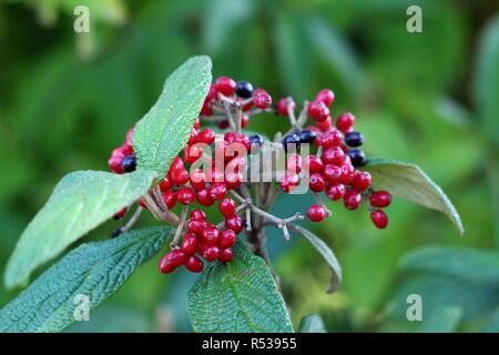 Leatherleaf viburnum or Viburnum rhytidophyllum vigorous coarsely textured evergreen shrub plant cluster of bright red and black berries - Stock Photo