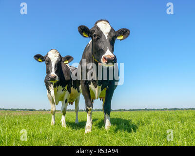 Two black and white cows,frisian holstein, standing in a pasture under a blue sky and a faraway straight horizon. - Stock Photo
