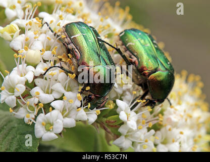 two rose beetles in duet - Stock Photo