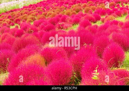 Red Bassia scoparia in Autumn season - Stock Photo
