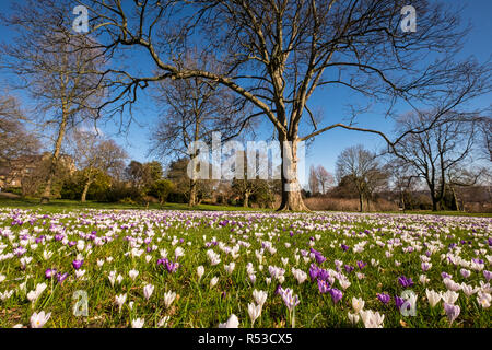 Naturalised crocus in springtime, with bare branches of deciduous trees,  Sheffield Botanical Gardens, South Yorkshire - Stock Photo