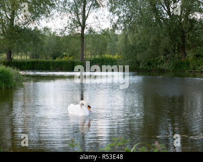 gorgeous shots of a single swan on a lake close up reflected resting and being serene and powerful on a summer's afternoon in late spring and early summer with bright light - Stock Photo
