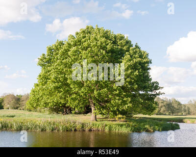 a big single oak tree at the side of a river in detail in the sunny summer light late afternoon lush along the river stour in dedham of essex england in the uk - Stock Photo