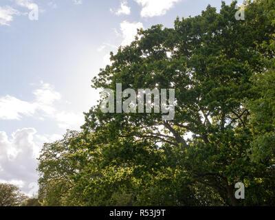 the tops of a lush green oak tree and the sun behind it close up in the middle of the country in the uk - Stock Photo