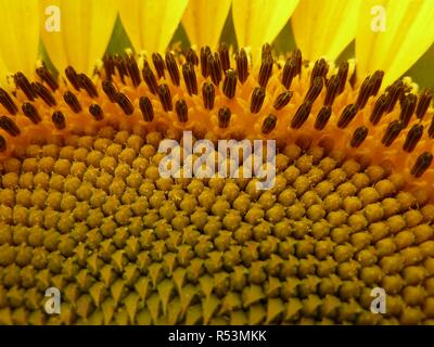 Bright yellow sunflower close up of curved rows, patterns, textures and detail. - Stock Photo