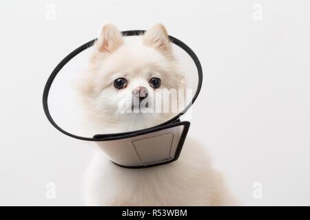 Pomeranian wearing protective collar - Stock Photo