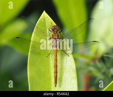 Female Common Darter Dragonfly (Sympetrum striolatum) perched on rhododendron leaf. Tipperary, Ireland - Stock Photo