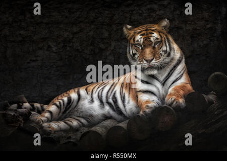 Siberian tiger lying on a wooden bridge - Stock Photo