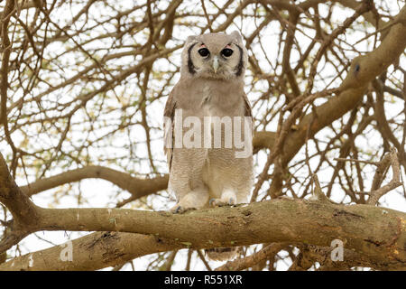 Verreaux's Eagle-Owl (Bubo lacteus) perched on tree branch, looking at camera, Ngorongoro conservation area, Tanzania. - Stock Photo
