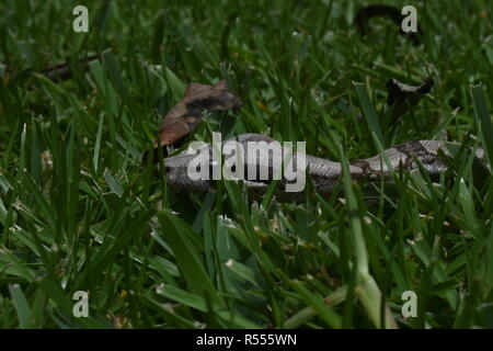 Close-up of a 1 year old  Columbian Red Tail Boa in the grass. - Stock Photo