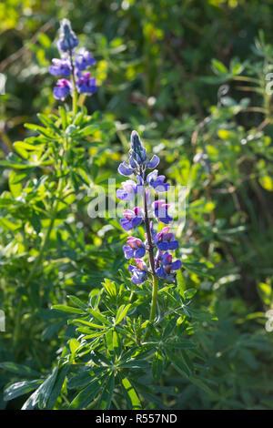 Alaska-Lupine, Alaskalupine, Lupinus nootkatensis, Nootka lupine, Nootka lupin, Blue Lupine - Stock Photo