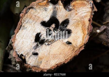Weidenbohrer, Fraßspur, Frasspur, Bohrgang, Bohrgänge der holzfressenden Raupe in einem Weidenstamm, Weiden-Bohrer, Cossus cossus, goat moth, European - Stock Photo