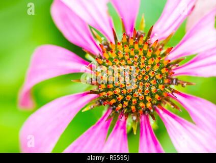 A macro shot of a pink echinacea bloom. - Stock Photo
