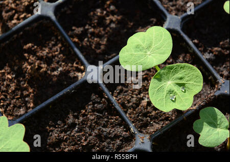 Droplets of water on leaf of a nasturtium seedling - Stock Photo