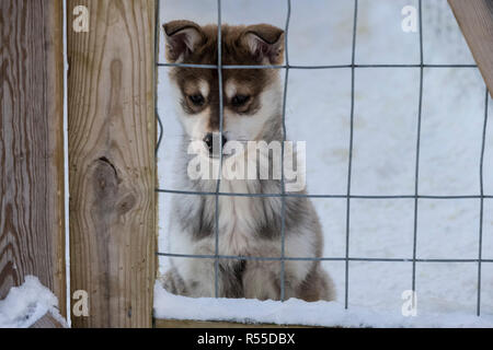 A sad looking Husky Puppy looks on as his older sibling toil happily at the Husky Sledge Safari Center. - Stock Photo