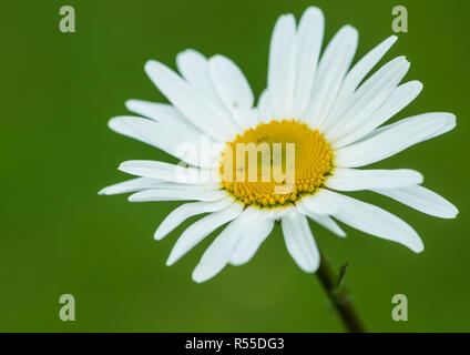 A macro shot of a white oxeye daisy bloom. - Stock Photo