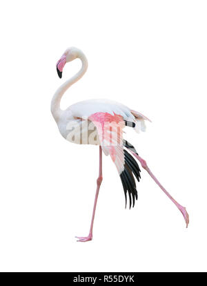 greater flamingo isolated on white background - Stock Photo