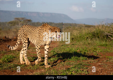 Eye level close up of a prowling cheetah Acinonyx jubatus on open grassland on the Zimanga private game reserve in South Africa - Stock Photo