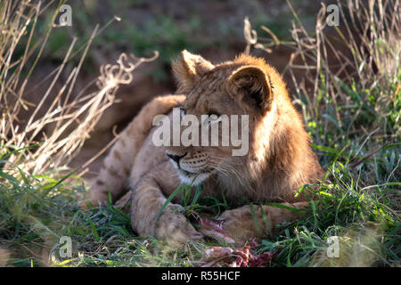 Lioness Panthera leo resting after a feed at the end of the day as the sun sets in South Africa - Stock Photo