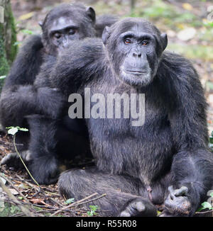 A dominant male Common chimpanzee (Pan troglodytes) is groomed while he relaxes after a morning's foraging.  Kibale Forest National Park, Uganda. - Stock Photo