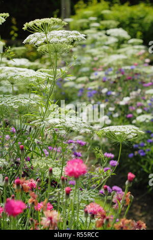 Summer display of flowers for cutting in 'The Pickery' at Easton Walled Garden, Easton, Lincolnshire, England, UK. Ammi majus, cornflowers and more. - Stock Photo