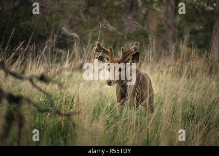 A young mule deer buck walks slowly through the grass. - Stock Photo