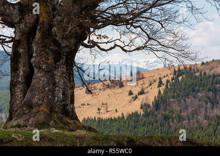 Big lonely leafless tree in spring mountains in  cloudy weather. Old beech tree on the top of the hill with hiking dirty road path. Ukraine, Carpathia