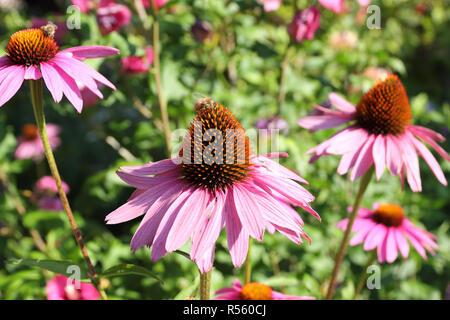 Coneflower, Echinacea purpurea with bee - Stock Photo