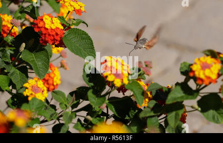 Beautiful hummingbird butterfly zips nectar from a flower. - Stock Photo
