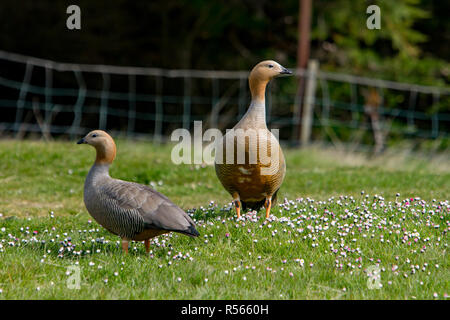 A pair of Ruddy-headed geese are a common site around the settlement at West Point Island in the Falkland Islands. - Stock Photo