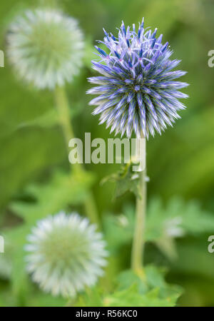Russian globe thistle (Echinops ritro) just beginning to bloom. Open flowers are at top of globe. - Stock Photo