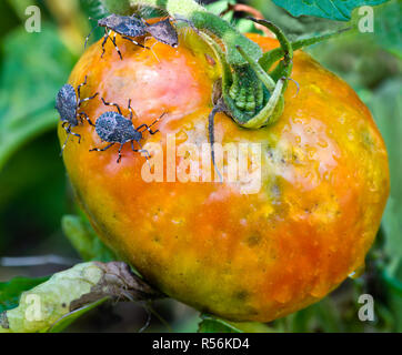 Brown marmorated stink bugs (Halyomorpha halys) feeding on garden tomato. Mottled appearance of tomato is the result of the destructive effects of the - Stock Photo