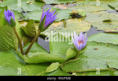 Water lilies grow in a patch of open water in the Mabamba Swamp on the edge of Lake Victoria. The  swamp is covered in  thick vegetation including pap - Stock Photo