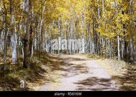 Dirt road winds through a thick forest of golden yellow aspen trees in a colorful Colorado fall landscape scene on Kenosha Pass - Stock Photo