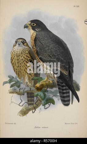 Falco minor.  Two falcons. Catalogue of the Game Birds (Pterocletes, Gallinæ, Opisthocomi, Hemipodii), in the Collection of the British Museum. [With plates.]. 1893. Source: 07207.ee.1 plate XII. Language: Italian. Author: Dressler, O. Ogilvie-Grant, William Robert,. - Stock Photo