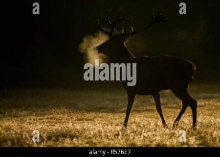 Red deer (Cervus elaphus) stag photographed in backlight during the rutting season in Richmond Park, London. - Stock Photo