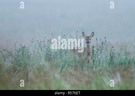Female roe deer (Capreolus capreolus) in a meadow on a misty morning in North East Poland. - Stock Photo