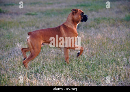Boxer Male standing in meadow, profile, alert - Stock Photo