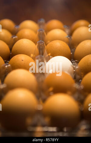 One white egg in a carton of brown eggs on a table top - Stock Photo
