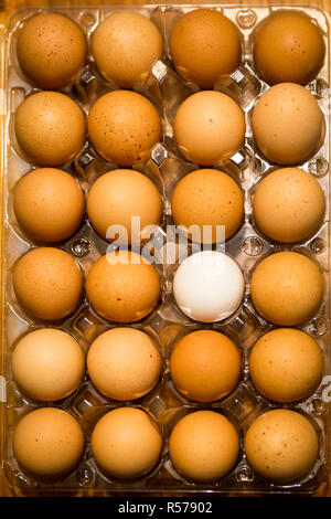 Top down view of one white egg in a carton of brown eggs on a table top - Stock Photo